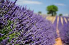 Lavender field in Provence, France. Shallow DOF Royalty Free Stock Image