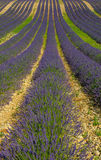Lavender field, Provence, France Royalty Free Stock Photos