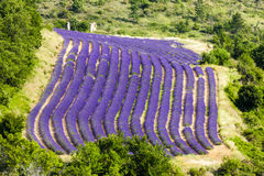 Lavender field. In Provence, France Royalty Free Stock Images