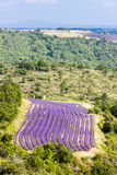 Lavender field. In Provence, France Royalty Free Stock Photography