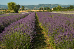 Lavender field in Provence Royalty Free Stock Images