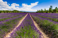 Lavender field in Provence Royalty Free Stock Image