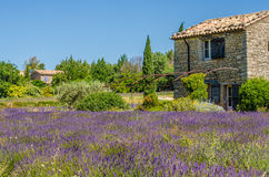 Lavender field in Provence, France Royalty Free Stock Photo
