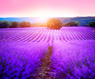 Lavender field in Provence, France. Blooming lavender. Lavender field in Provence, France. Blooming violet fragrant lavender flowers Royalty Free Stock Image