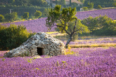 Lavender field, Provence, France Stock Images