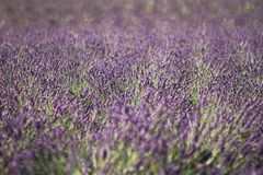 Lavender field in Provence, France Stock Image