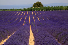 Lavender field in Provence, France. In the most romantic & scenic location of Provence: the Plateau of Valensole, rows and rows of flagrant flowers. France royalty free stock images