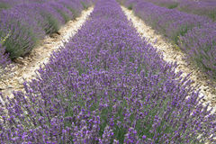 Lavender field in Provence, France. Shot with a Royalty Free Stock Photography