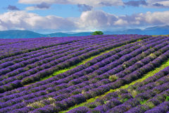 Lavender field, Provence, France Stock Image