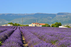Lavender field in Provence, France Royalty Free Stock Photography