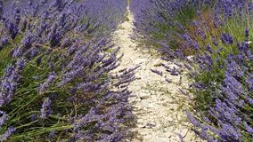 Lavender field in Provence. South of France stock footage