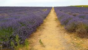 Lavender field in Provence. South of France stock video footage