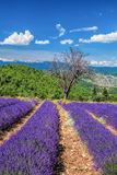 Lavender field in Provence, near the Sault town in France Royalty Free Stock Photos