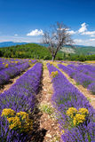 Lavender field in Provence, near the Sault town in France Royalty Free Stock Images