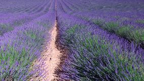 Lavender field in Provence, near Valensole, France stock footage