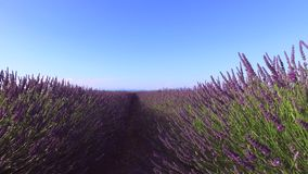 LAVENDER IN SOUTH OF FRANCE stock video footage