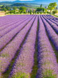 Lavender field in Provence Royalty Free Stock Photography