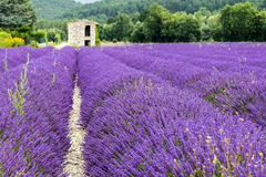 Lavender field in Provence. A shelter in a lavander field in Province France royalty free stock images