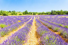 Lavender field in Provence Stock Photos