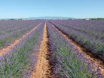 Lavender field, provence, south of france royalty free stock photos