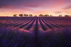 Lavender field in Provence during sunrise. Lavender field in Provence Valensole during sunrise royalty free stock photography