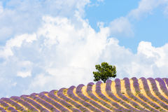 Lavender field, Provence. Lavender field with a tree, Provence, France Stock Photo