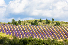 Lavender field, Provence. Lavender field with trees, Provence, France Royalty Free Stock Photos