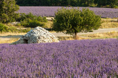 Lavender field in provensal landscape, France Stock Photography