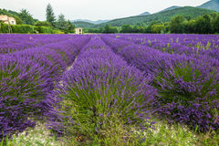 Lavender field in Province. Lavender field in high Provence of France stock images