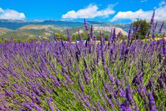 Lavender field. Purple flowers. French Alps, Provence. Summer landscape Stock Photos