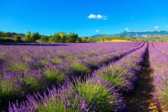 Lavender field. Purple flowers. French Alps, Provence. Summer landscape Royalty Free Stock Photos