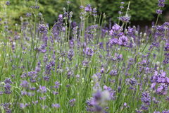 Lavender. Field of purple lavender with wonderful smell Stock Images