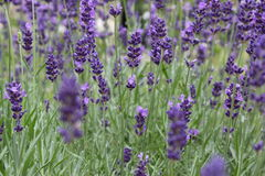 Lavender. Field of purple lavender with wonderful smell Royalty Free Stock Images