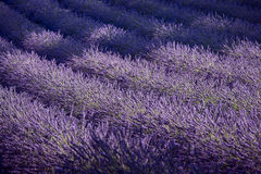 Lavender field and ray of light. Provence, France Stock Images