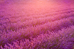 Lavender field and ray of light on sunset. Provence, France Royalty Free Stock Image