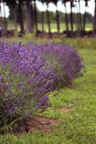 Lavender in a field Royalty Free Stock Image