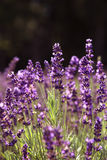 Lavender in a field Stock Photos
