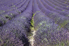 Lavender field in the region of Provence Royalty Free Stock Photo