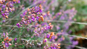 Lavender. In a field, right next to a road Royalty Free Stock Images