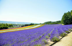 Lavender field in the row Stock Photography