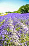 Lavender field in the row Stock Image