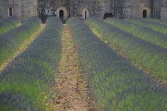Lavender field rows in front of Senaque Abbey, Provence Stock Photos
