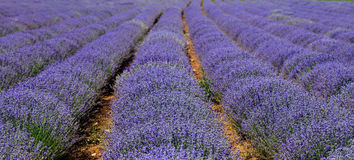 Lavender field in rows Stock Photos