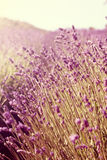 Lavender field during senset Stock Photo