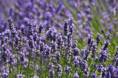 Lavender field shot in nature Royalty Free Stock Photography