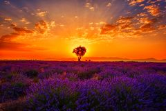 Lavender field, amazing landscape, sunrise glow, natural summer travel background, Provence, France. Lavender field with single tree, amazing landscape, sunset royalty free stock photography