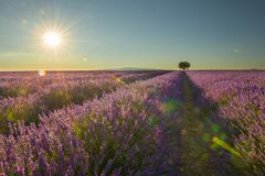 Lavender field with a single tree with sunshine and sun. A lavender field with a single tree with sunshine and sun flare stock image