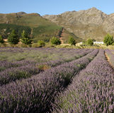 Lavender field in South Africa Royalty Free Stock Photography