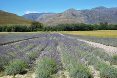 Lavender field in South Africa Stock Photography