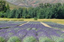 Lavender field in South Africa Royalty Free Stock Photo
